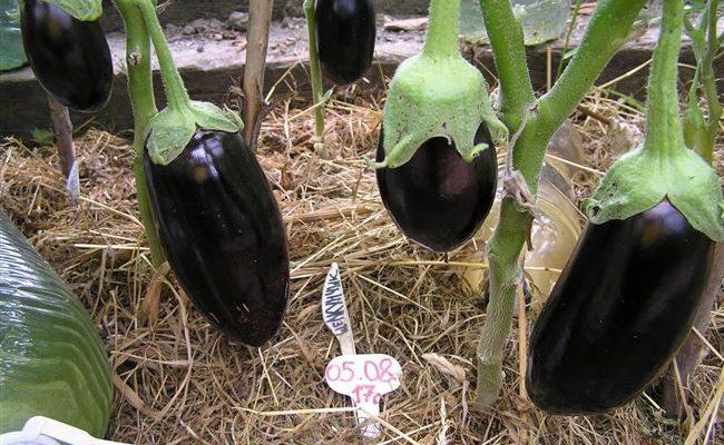 Вкусный и урожайный сорт баклажанов Щелкунчик F1