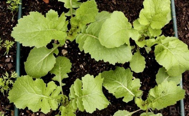 Репа: выращивание, уход, болезни, вредители и сорта