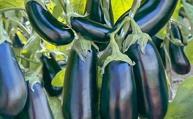 Описание сорта баклажана Эпик, особенности выращивания и ухода