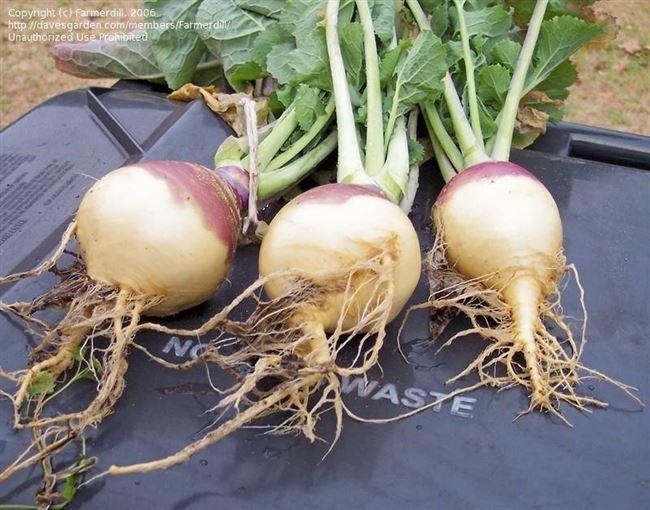 Как выращивать полезную и вкусную брюкву