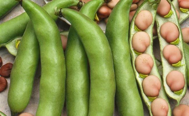 Оптика - сорт растения Бобы овощные