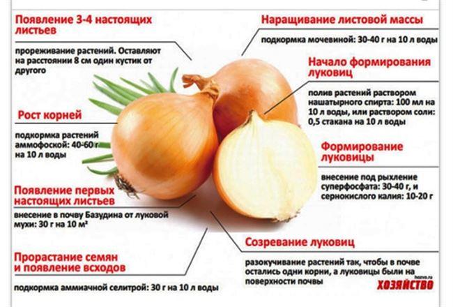 Особенности выращивания и ухода за луком Альфа