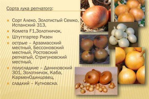Галилео — сорт растения Лук репчатый