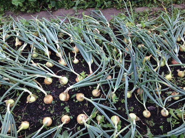 Понравилось выращивать репчатый лук через рассаду. Подборка сортов на будущий год