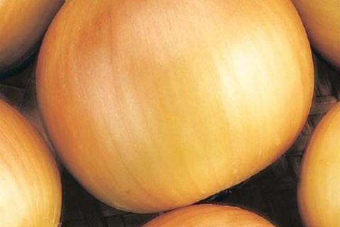 Кристина — сорт растения Лук репчатый