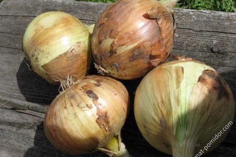 Описание и характеристика лука Кэнди: преимущества и недостатки сорта. Рекомендации по выращиванию в открытом грунте, уход и уборка урожая.