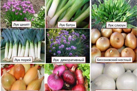 Лук-батун Легионер: выращивание из семян Гавриш, отзывы, описание сорта, посадка и уход в открытом грунте, это многолетняя зелень или нет