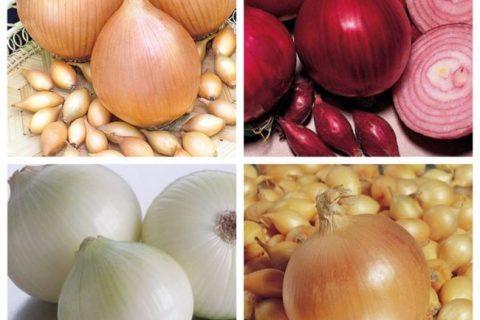 Сладкие сорта лука: описание, фото, отзывы