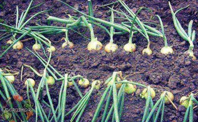 Как собрать самый большой урожай озимого лука Радар с грядок
