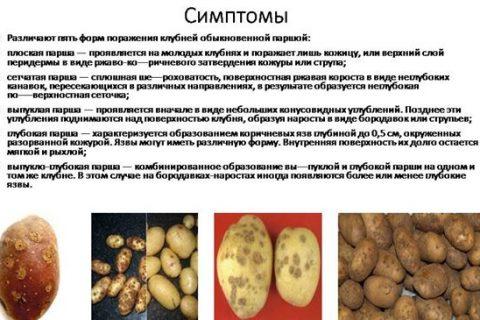 Какие бывают и как выглядят болезни картофеля. Способы лечение и методы профилактика болезней картофеля. Советы от агрономов Алексея Володихина и Светланы Михайловой