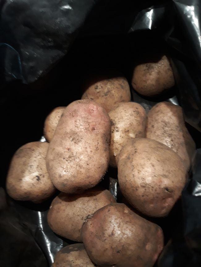 Картофель ермак улучшенный описание сорта