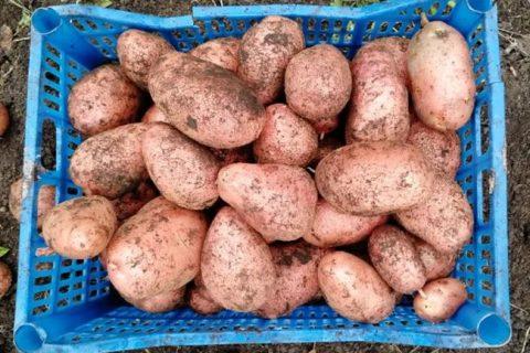 Картофель Любимец | Сорта картофеля