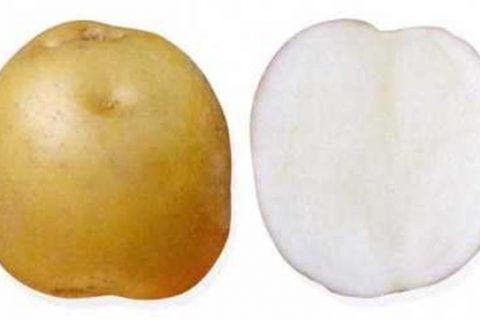 Москворецкий — сорт растения Картофель