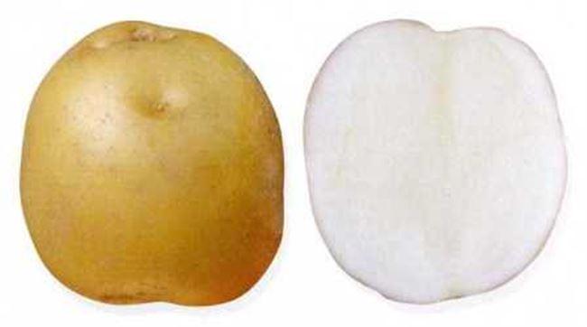 Сорт картофеля «Москворецкий» – описание и фото