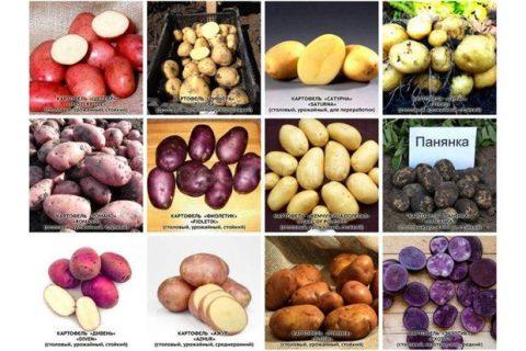 Сорта картофеля: описания, названия, фото и таблицы, урожайные и устойчивые к заболеваниям виды
