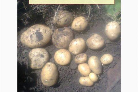 Алексеевский — сорт растения Картофель