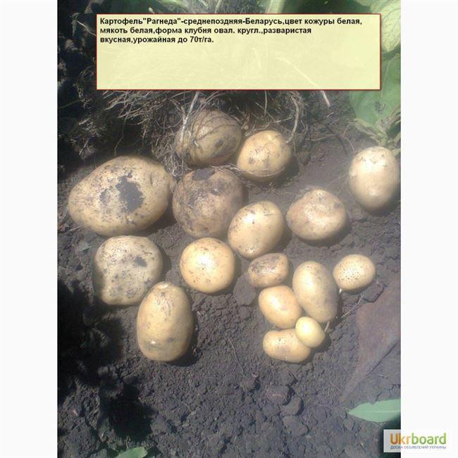 Алексеевский - сорт растения Картофель