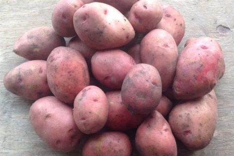 Сорт картофеля «Алмаз» — описание характеристики отзывы фото видео — Сорта Вики Ру