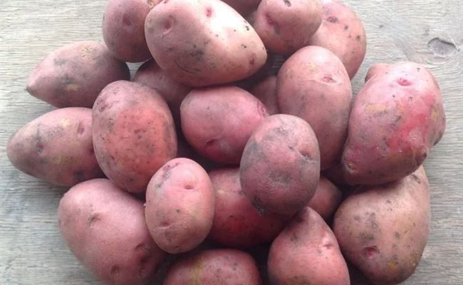"""Сорт картофеля """"Алмаз"""" - описание характеристики отзывы фото видео"""
