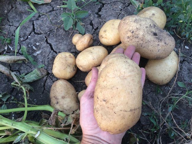 Арсенал - сорт растения Картофель