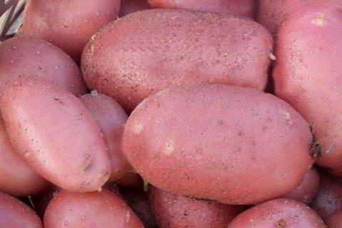 Картофель Артемовец | Сорта картофеля