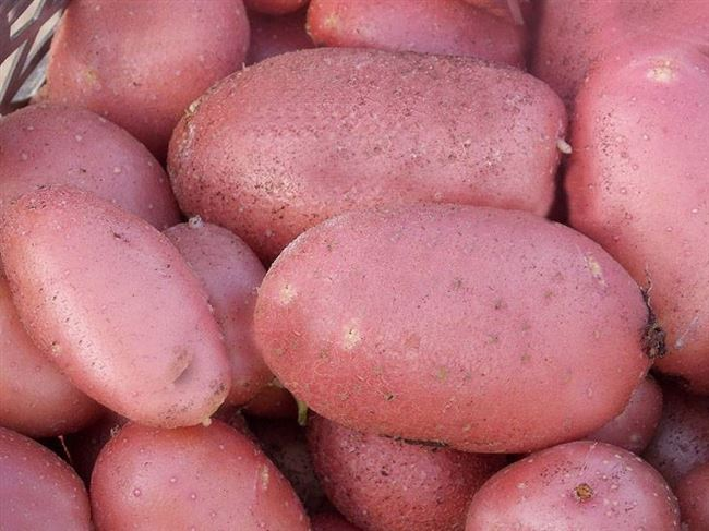 Лучшие сорта картофеля для Приморья