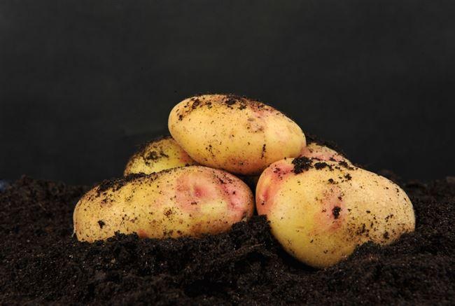 Описание сорта картофеля Бонни