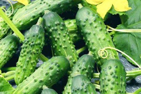Рейтинг самых лучших и урожайных сортов огурцов для теплицы и открытого грунта! Правила выбора сорта по скороспелости, условиям выращивания и применению.