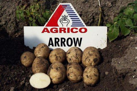 Сорт картофеля «Арроу (Стрела)» – описание и фото