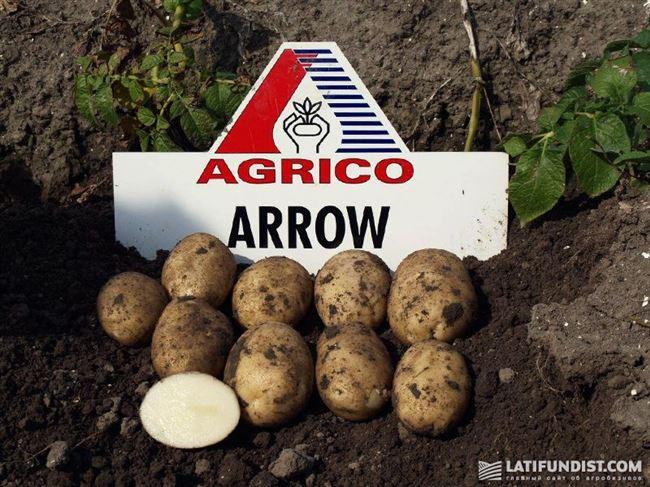 Арроу - сорт растения Картофель