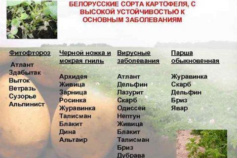 Картофель сорта «ветразь» (белорусская селекция)