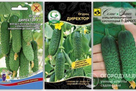 Огурец Директор: описание и характеристики сорта, правила посадки и выращивания