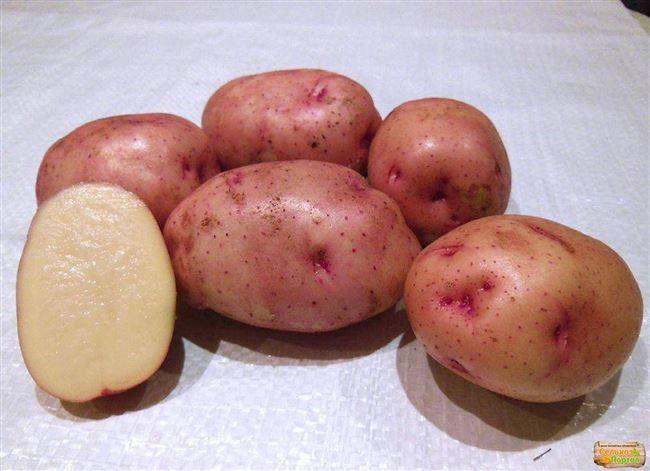 Сорт картофеля «Брянский ранний» – описание и фото