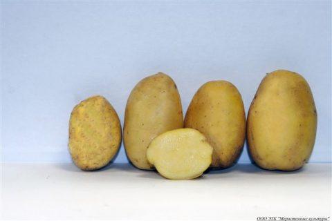 Сорт картофеля «Вершининский» – описание и фото