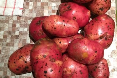 Сорт картофеля «Ветеран» — описание характеристики отзывы фото видео — Сорта Вики Ру