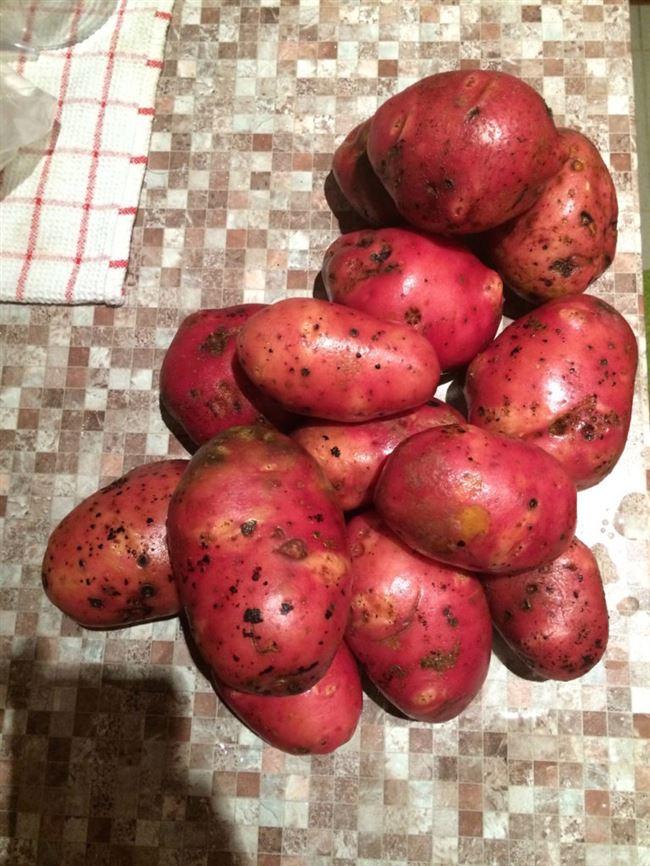 картофель ветеран описание сорта