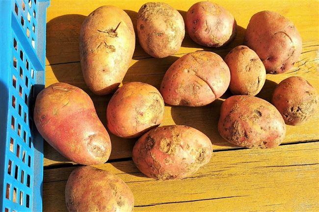 Какой позднеспелый сорт картофеля выращивать в средней полосе?