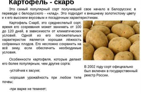 Сорт картофеля ВЕСНА: описание и основные характеристики, отзывы, фото урожая, особенности выращивания, посадка и уход, урожайность