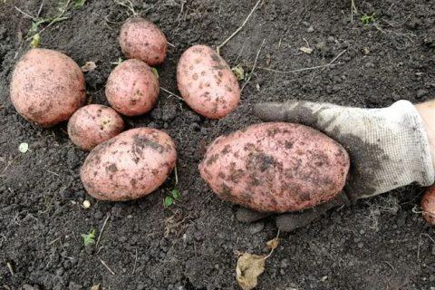 Брук — сорт растения Картофель