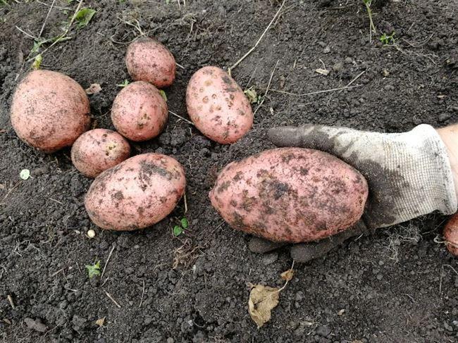 """Сорт картофеля """"Брук"""" - описание характеристики отзывы фото видео"""