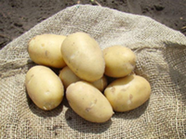 Сорт картофеля «Вулкан» – описание и фото