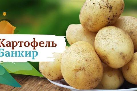 ГлавАгроном — Картофель ГОРЯНКА