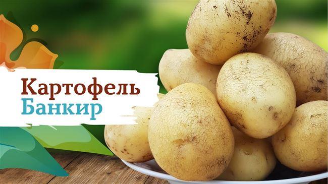 Описание сорта картофеля Горянка