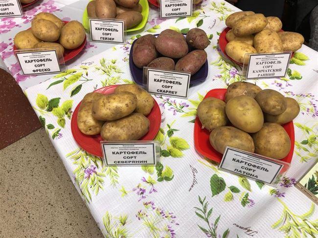Картофель ЗОЯ от Магаданский НИИСХ