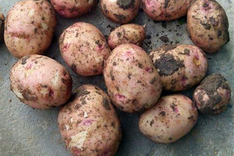 Немецкая компания Europlant делает ставку на сорта картофеля с низким содержанием углеводов