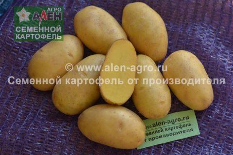 Картофель Красноярский ранний | Сорта картофеля