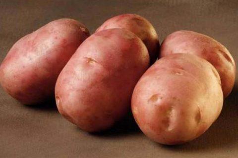ᐉ Сорт картофеля Леди Розетта (Lady Rosetta) – описание и фото