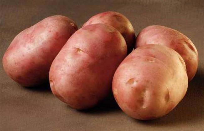 Знаменитый сорт от голландских специалистов — картофель Леди Розетта: описание и характеристика