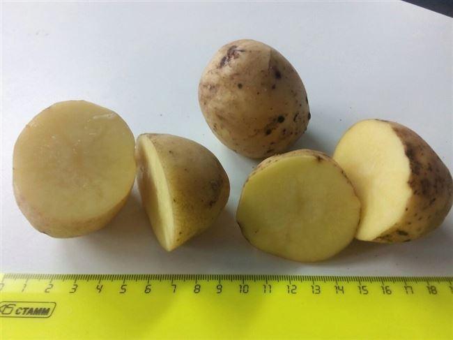 """Сорт картофеля """"Леони"""""""