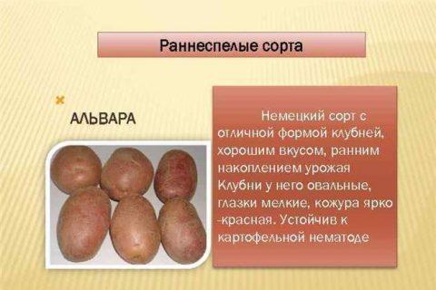 Картошка Музыка: описание сорта и характеристика, фото и отзывы, вкусовые качества
